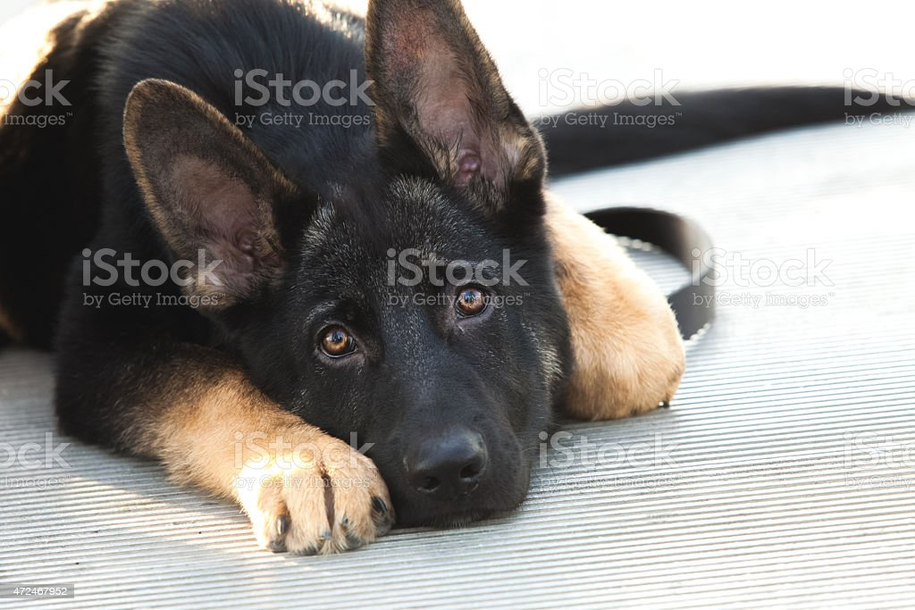 German Shepherd puppy dog lying down looking sad stock photo