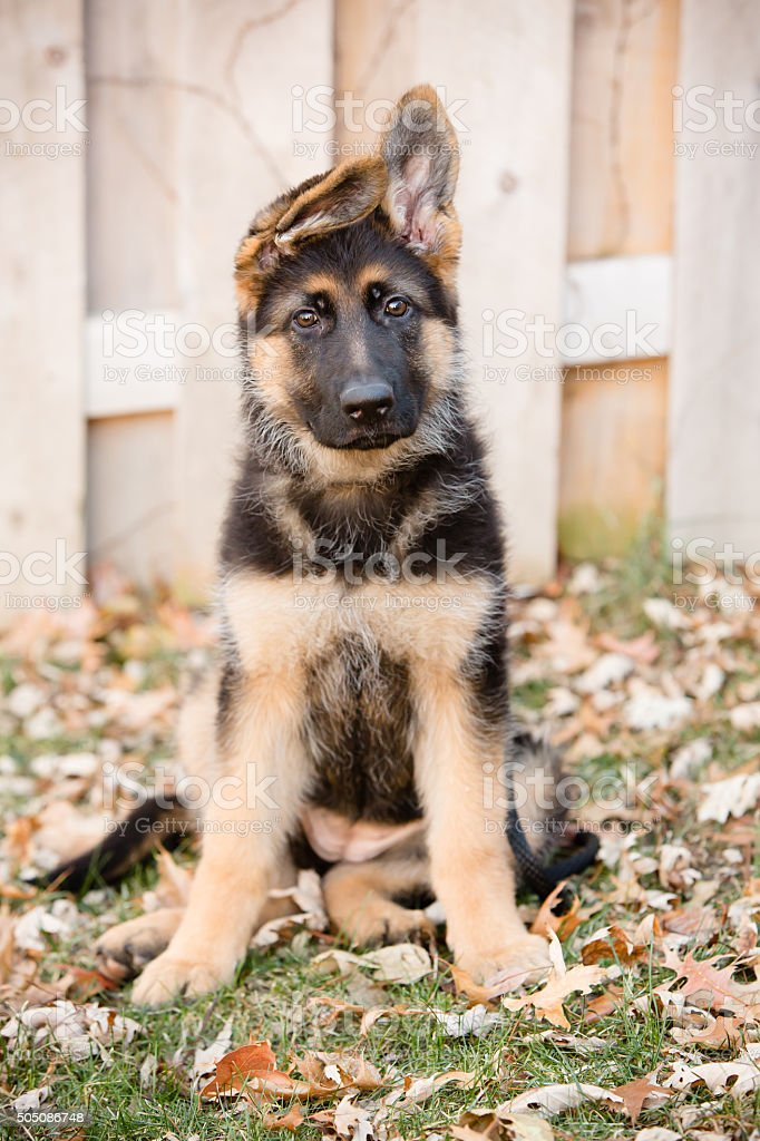 This is an image of an adorable german shepherd puppy with floppy...