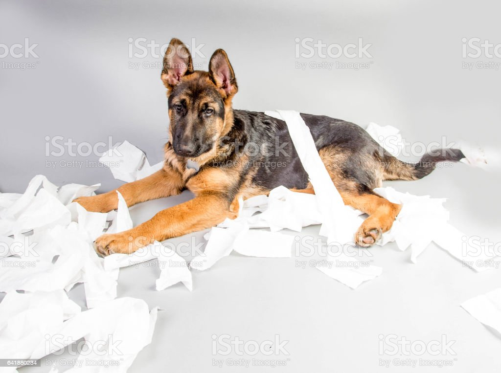 German Shepherd Puppy with toilet roll stock photo