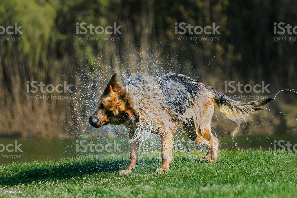 German Shepherd shaking water off stock photo