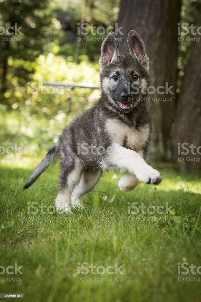 German Shepherd Shiloh  Running stock photo