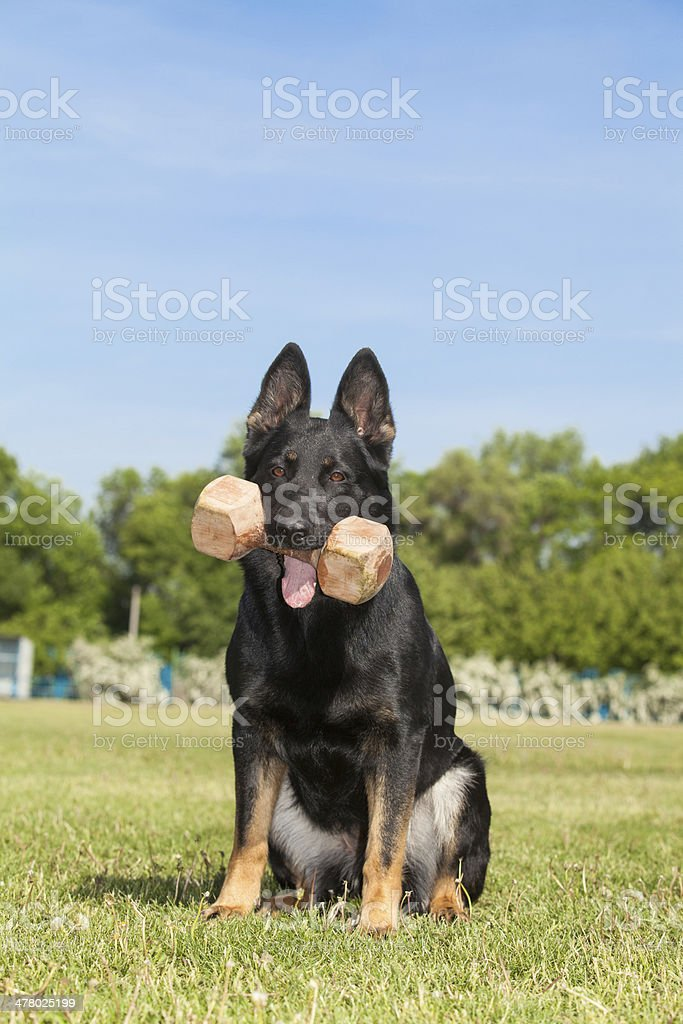 German shepherd sitting on the green grass royalty-free stock photo