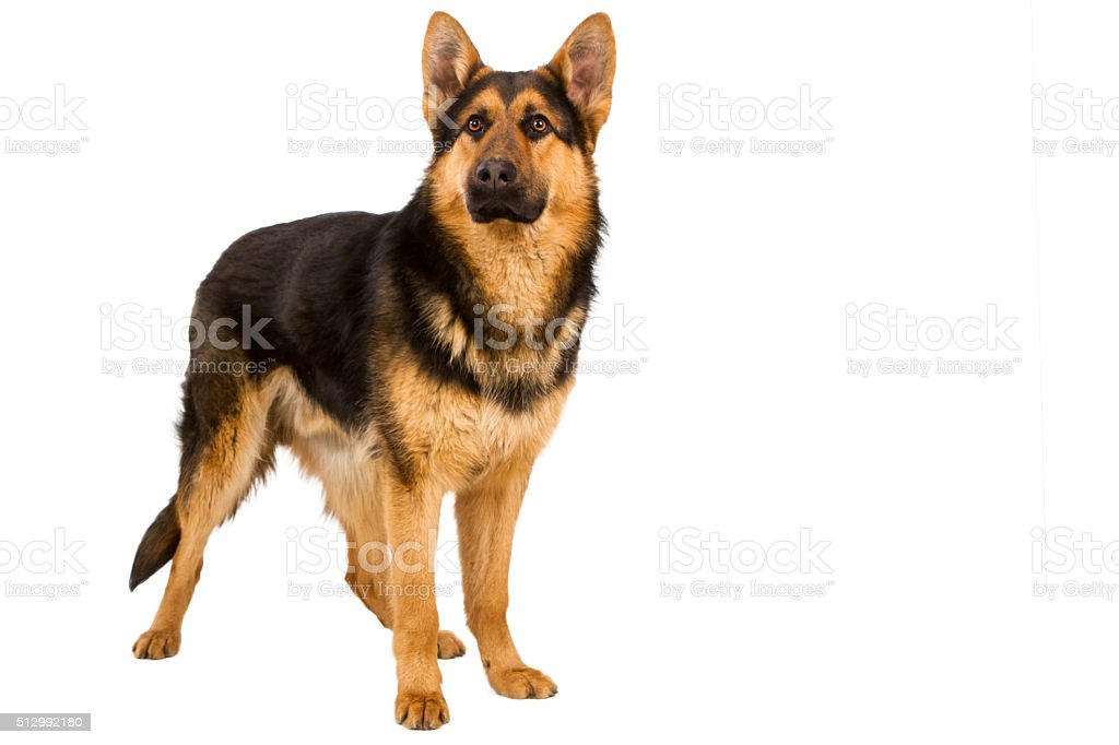 German Shepherd solated on white background stock photo