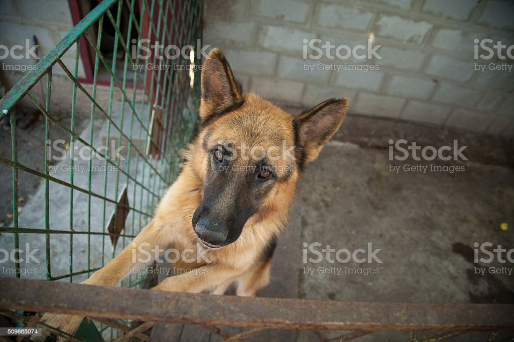 German Shepherd stands on hind legs near to the fence stock photo