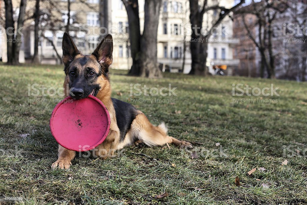 German Shepherd with a toy royalty-free stock photo