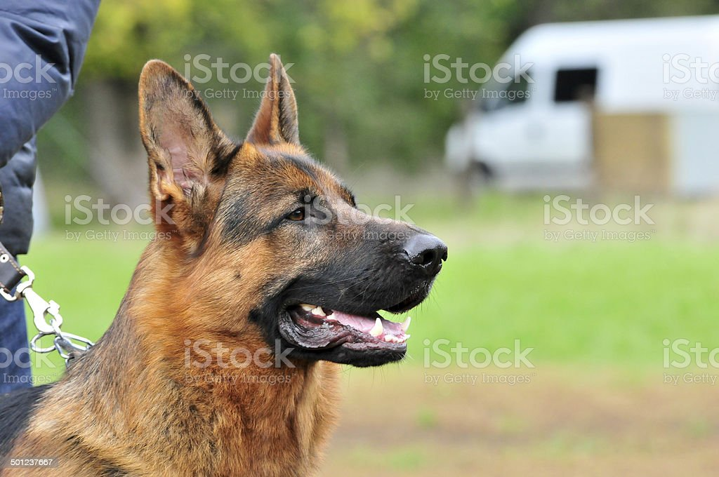 German Shepherd,male. royalty-free stock photo