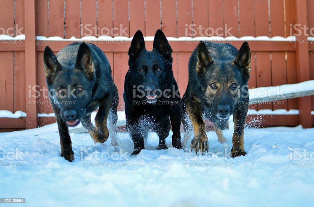 German Shepherds in the snow stock photo