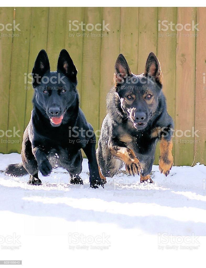 German Shepherds working together stock photo