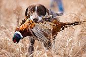 German short hair bird dog with pheasant.