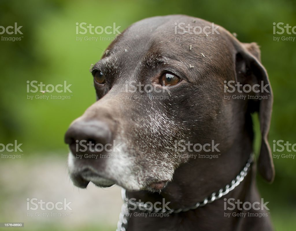 German short haired pointer dog covered in mosquitos stock photo