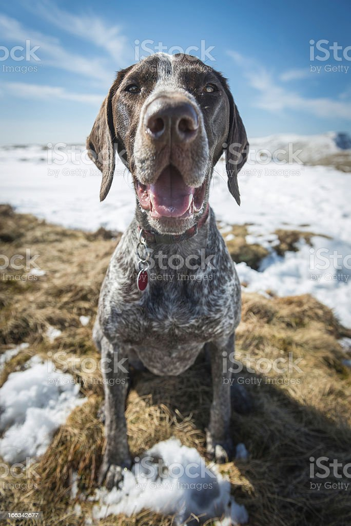 German Short Haired Pointer dog sitting outdoors on mountain royalty-free stock photo
