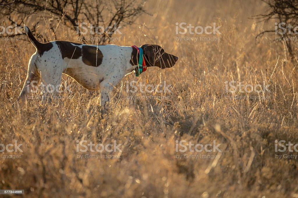 German Shorthair Birddog stock photo