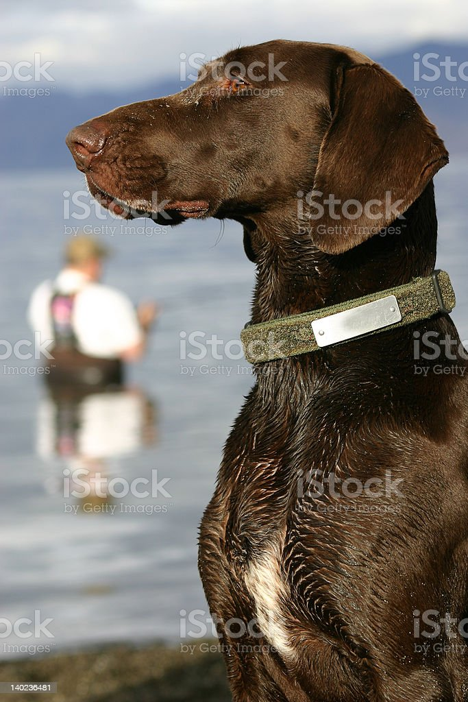 German Shorthair stock photo