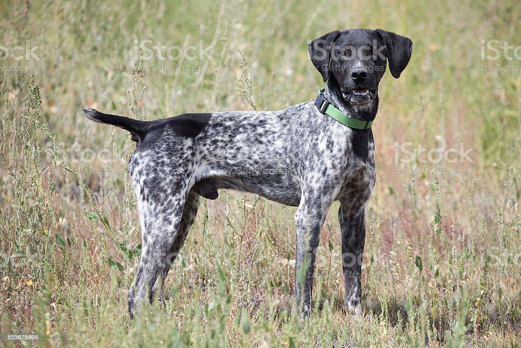 Deutsche Shorthair Pointer Apportierhund im Freien in Feld – Foto