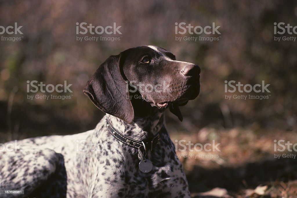 German Shorthair pointer, outdoors stock photo