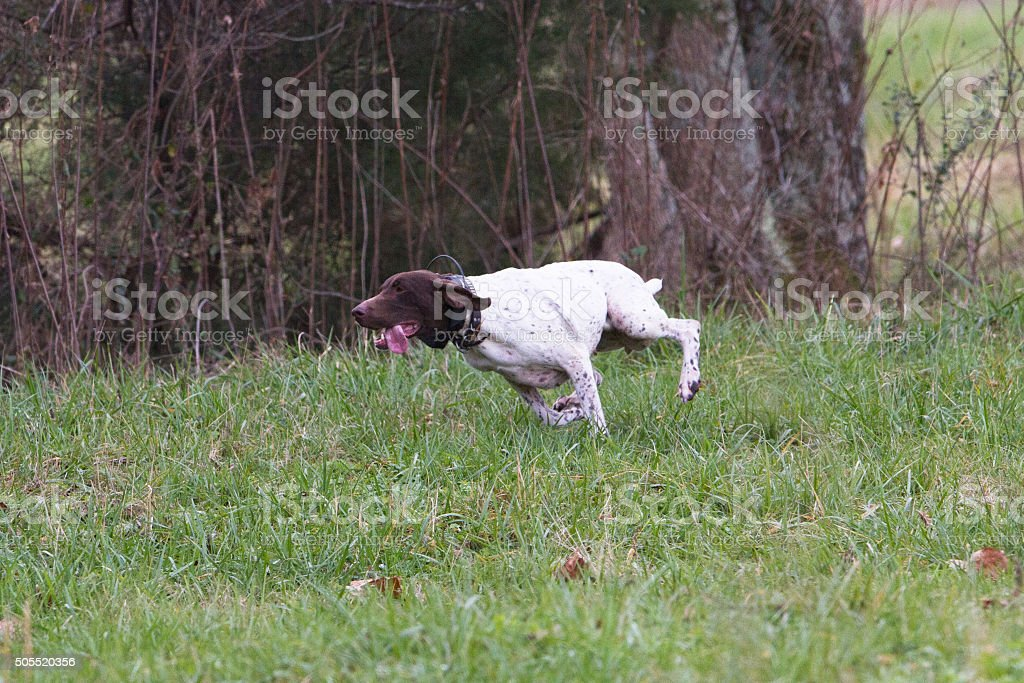 German Shorthair Pointer stock photo