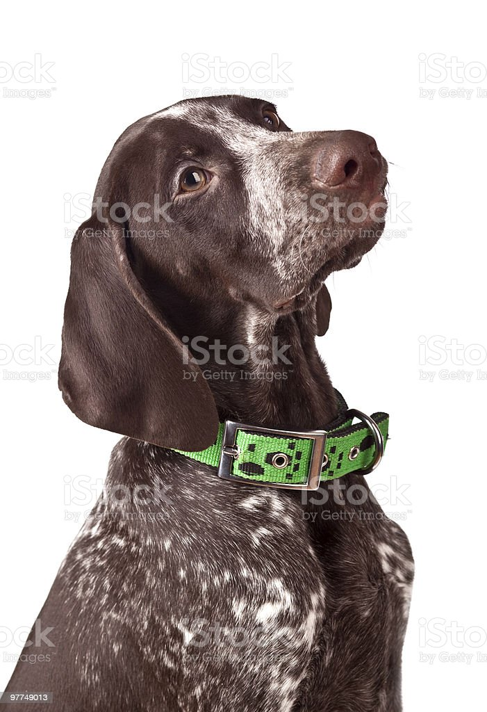 German short-haired pointer Attentively looks stock photo