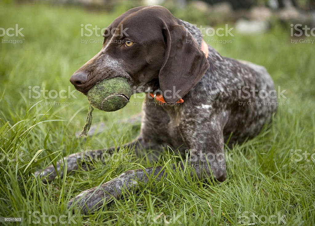 German Shorthaired Pointer on grass with tennis ball in mouth stock photo