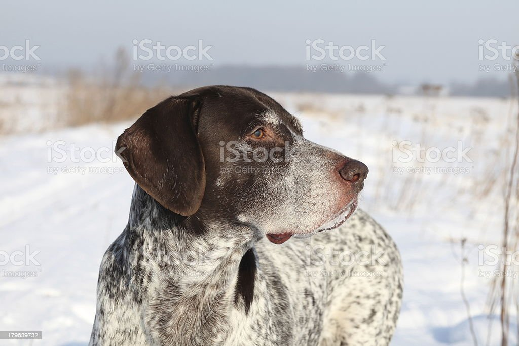German Shorthaired Pointer stock photo