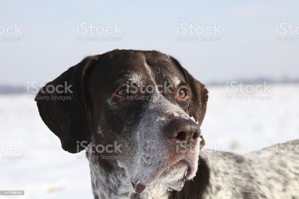 German Shorthaired Pointer royalty-free stock photo