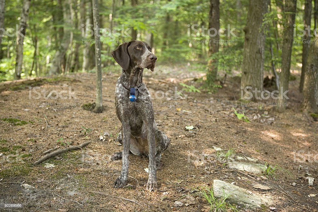 German Short-haired Pointer stock photo