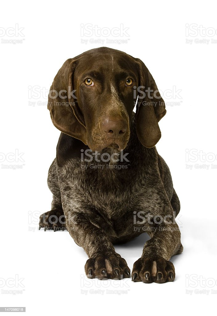 German Short-haired pointer portrait stock photo