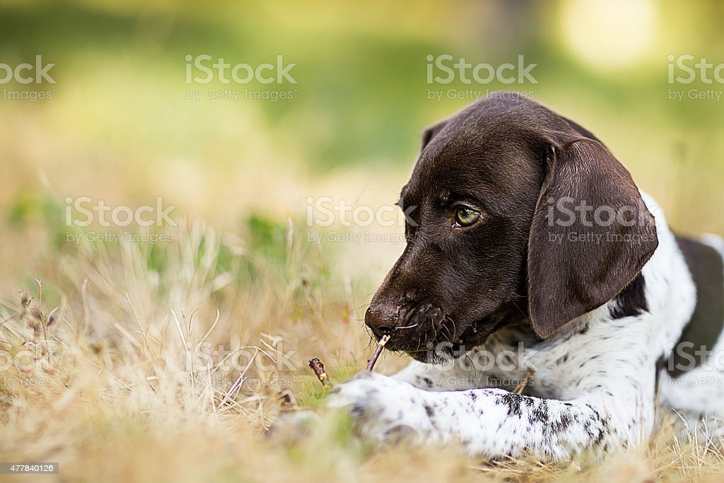 German Short-haired Pointer puppy closeup stock photo