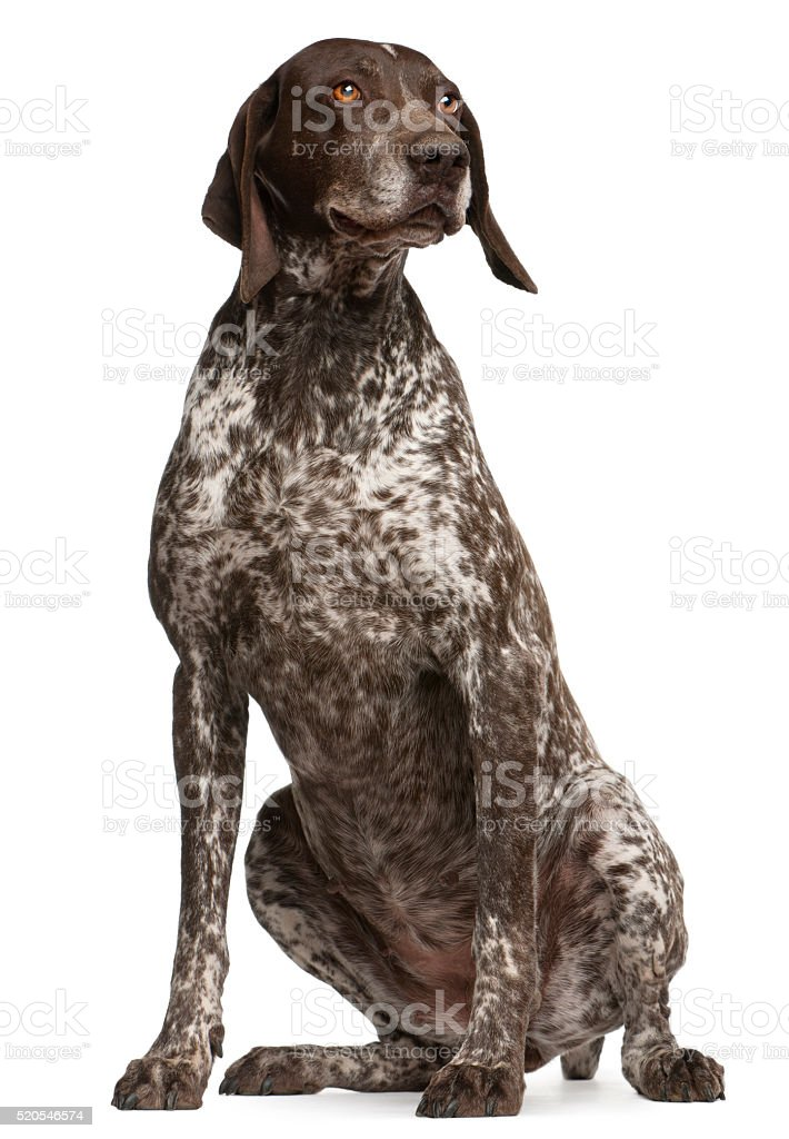 German Shorthaired Pointer, sitting in front of white background stock photo