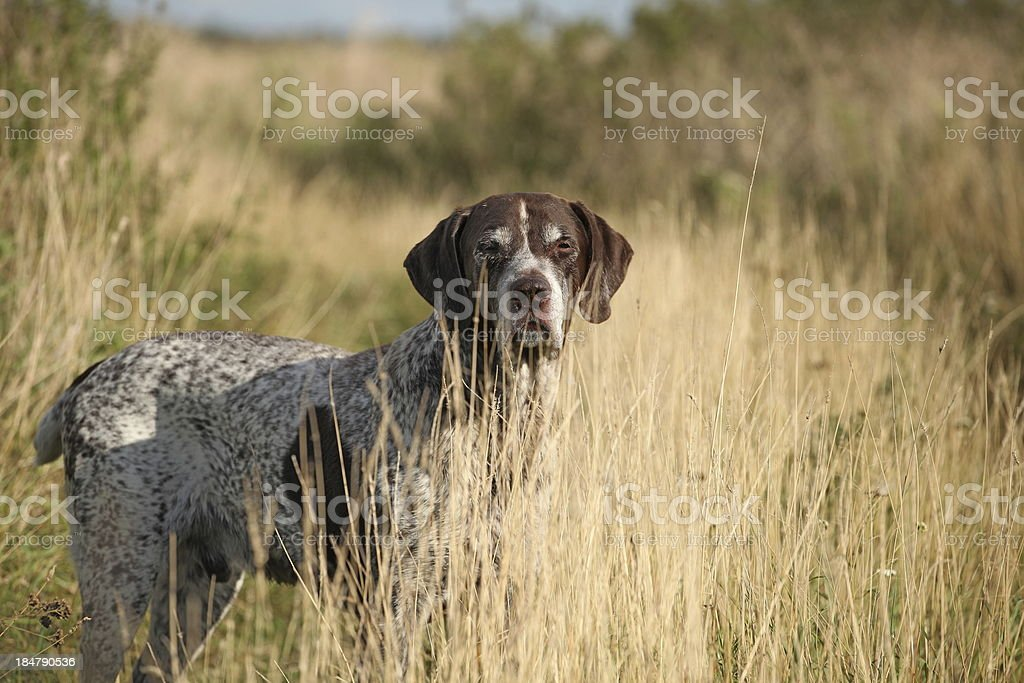 A German Shorthaired Pointer standing in a field stock photo