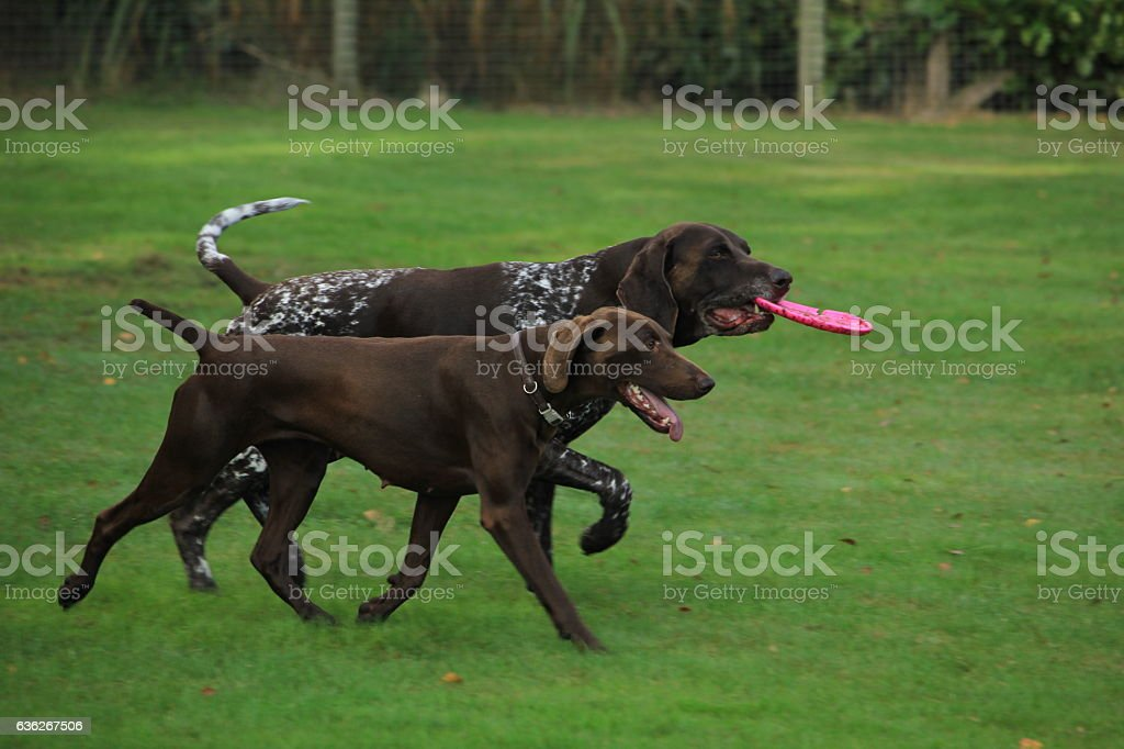 German Shorthaired Pointers stock photo