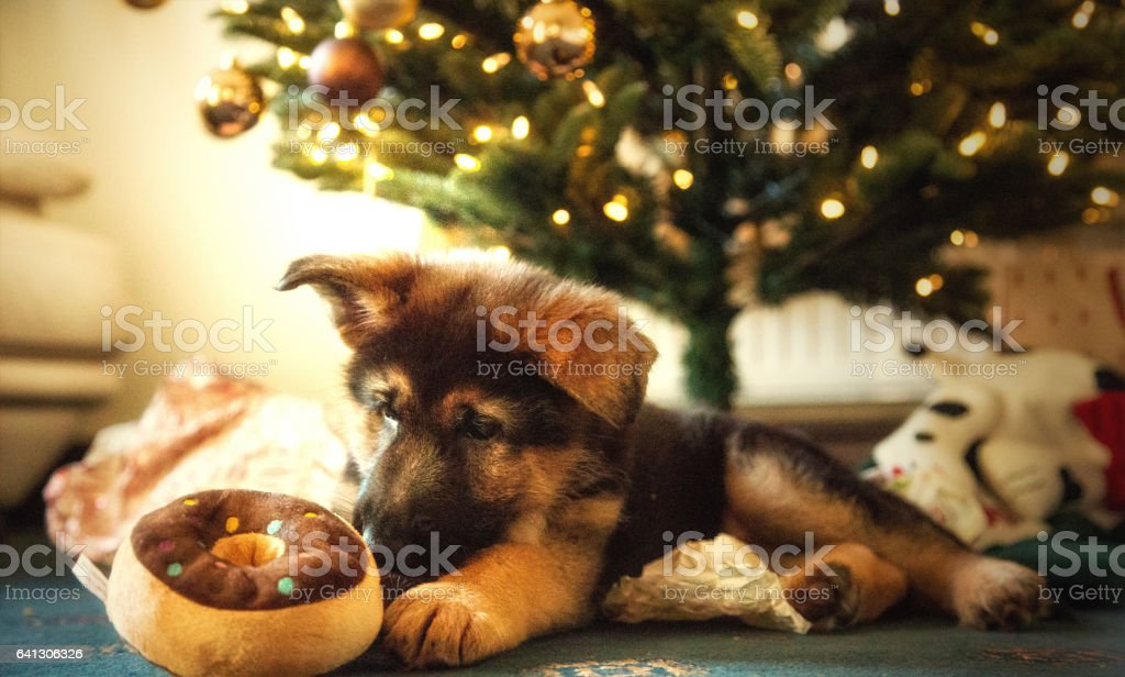 German Shpherd Puppy with Christmas decorations stock photo