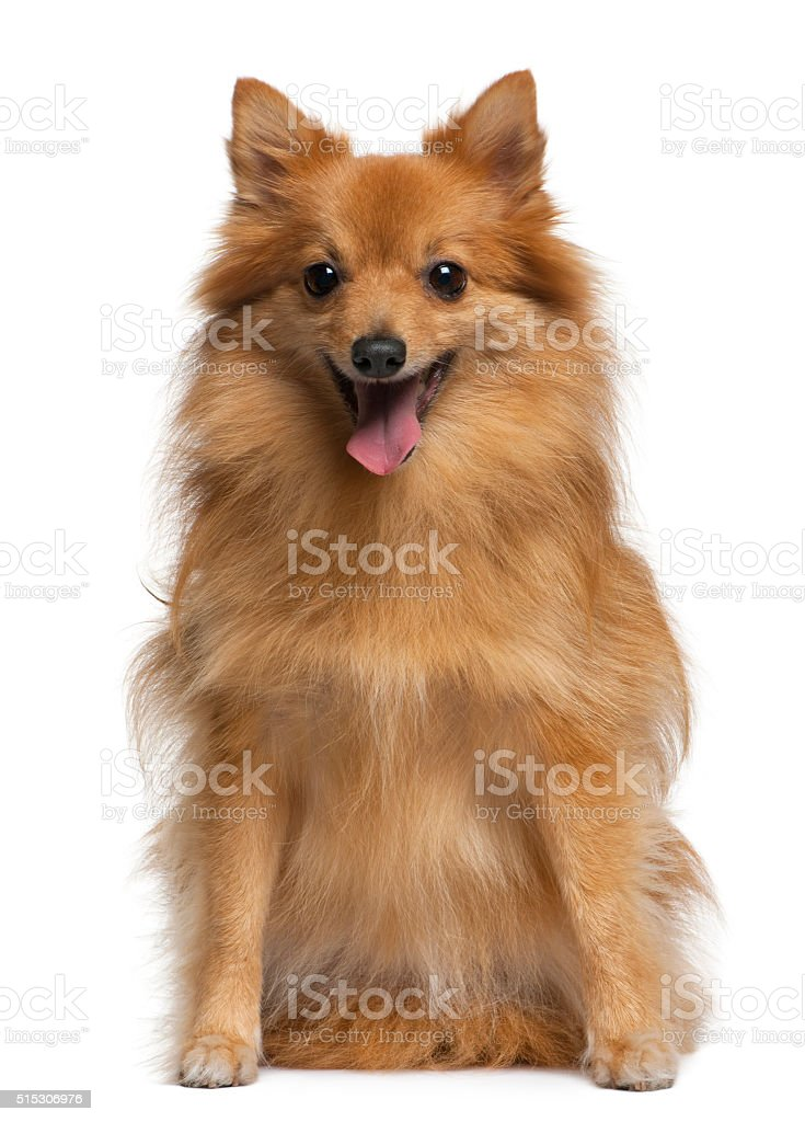 German spitz, 4 years old, sitting , stock photo