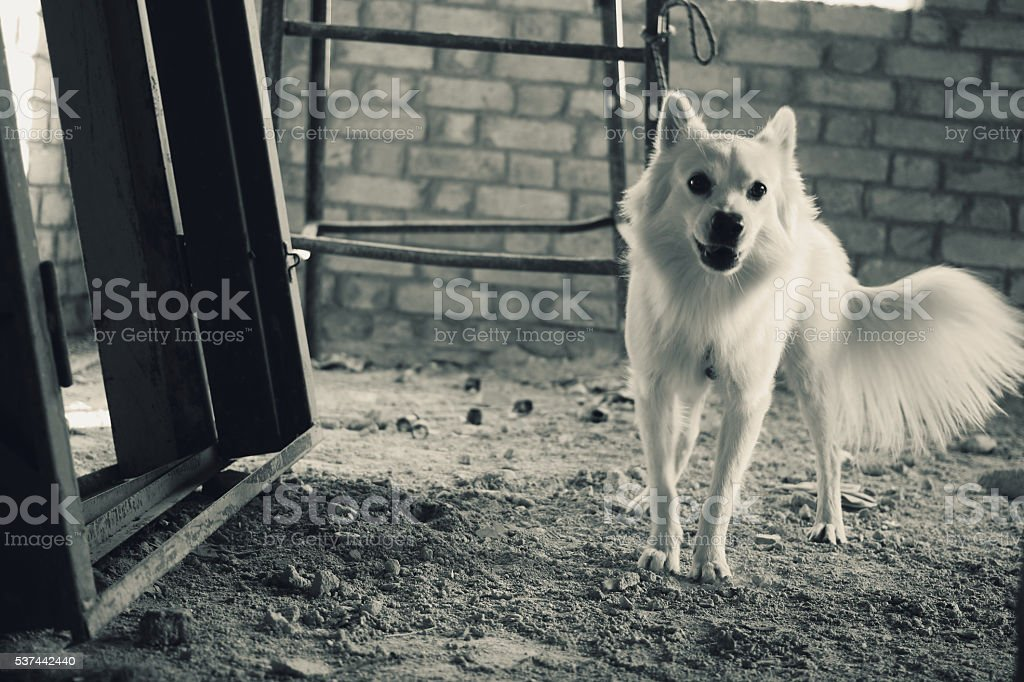 German Spitz panting in an under-construction building stock photo