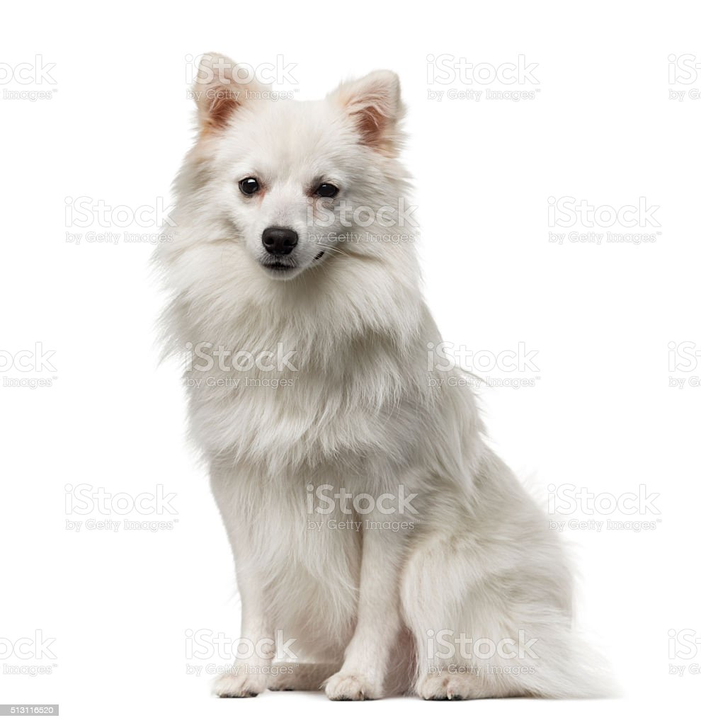 German Spitz (1 year old) stock photo