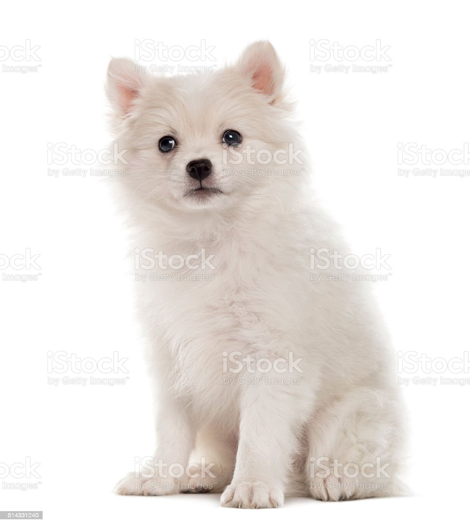 German Spitz puppy looking at the camera isolated on white stock photo