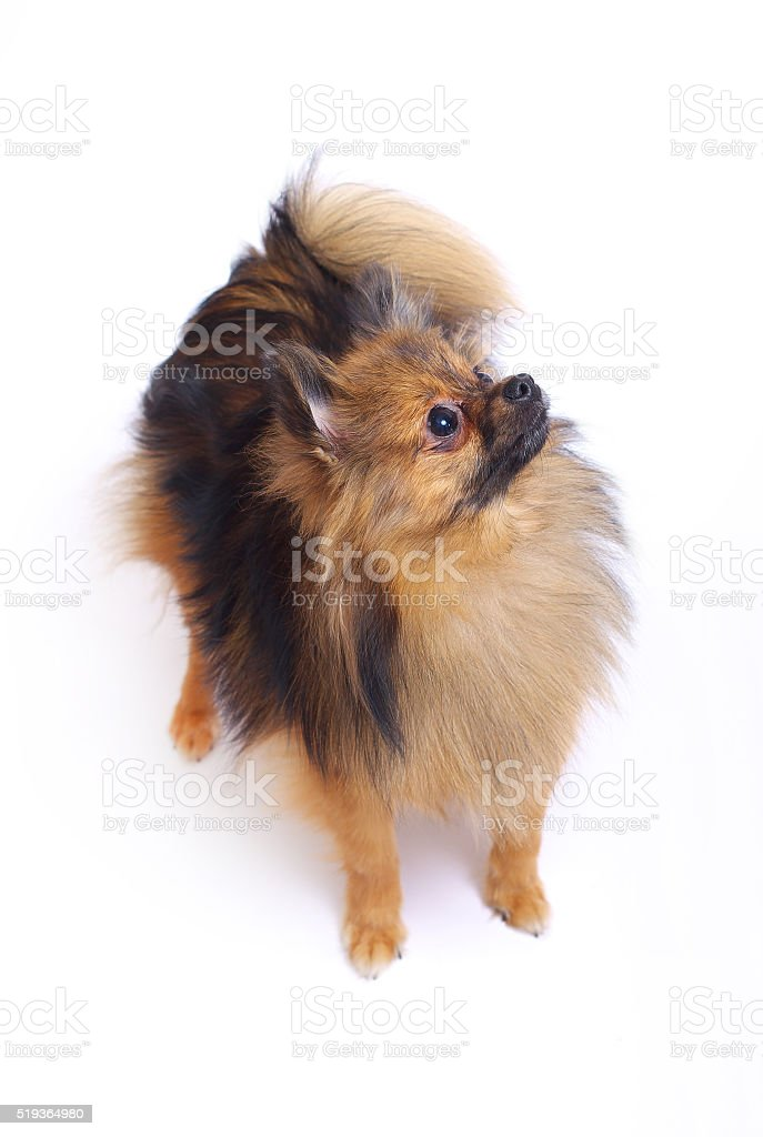German Spitz standing and looking up stock photo
