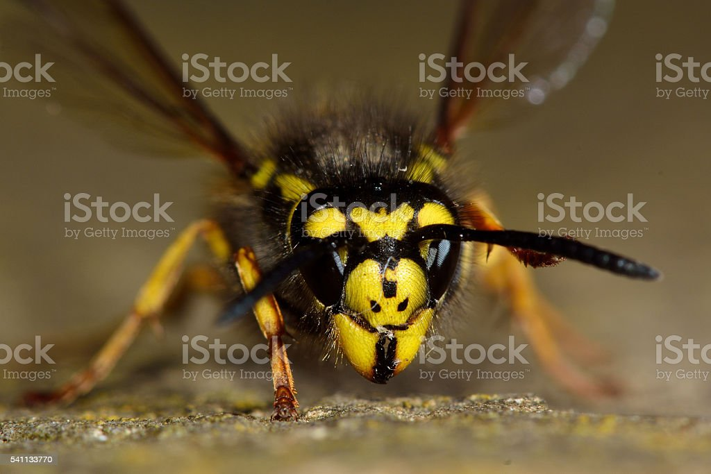 German wasp (Vespula germanica) face and head stock photo