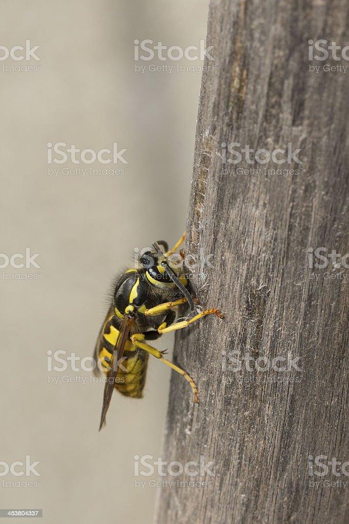 Deutsche Wespe (Vespula germanica) stock photo