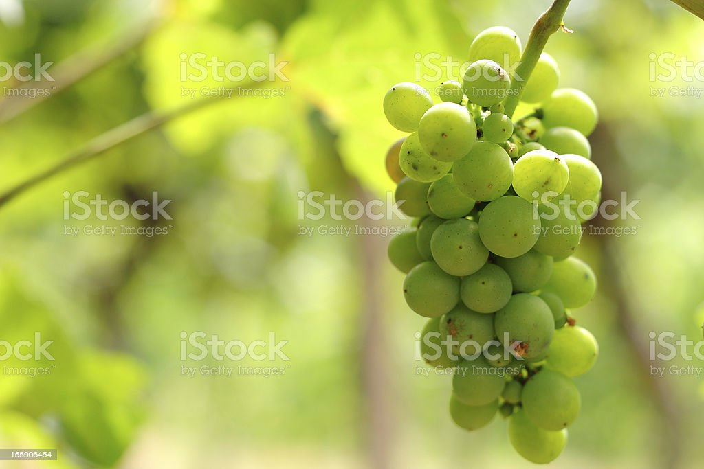 German Wine grapes named Riesling stock photo