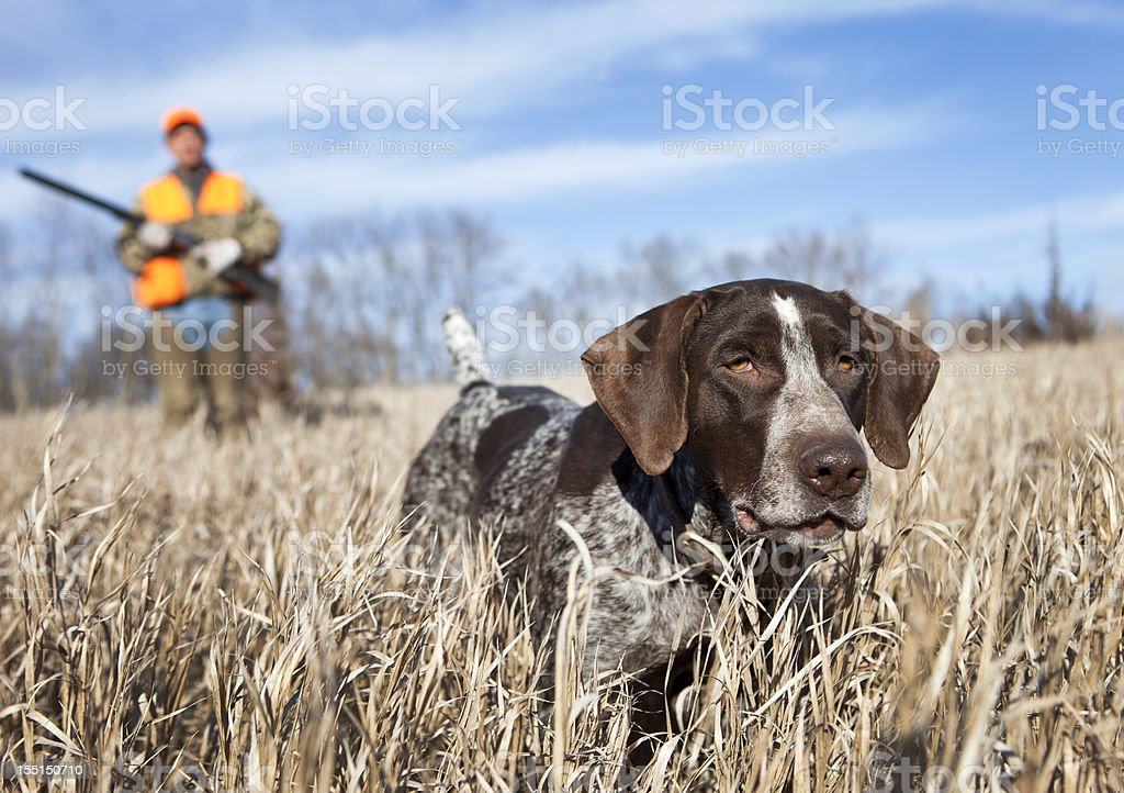 German Wirehair Pointer and man upland bird hunting. stock photo
