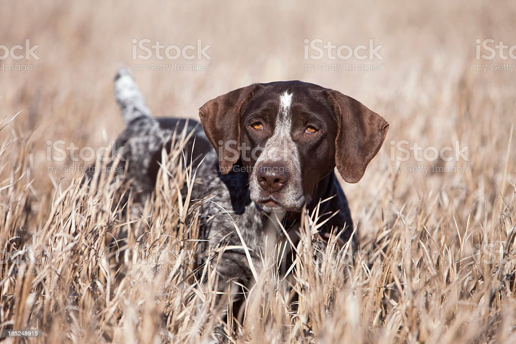 German Wirehair Pointer Upland Bird Hunting in Midwest. stock photo