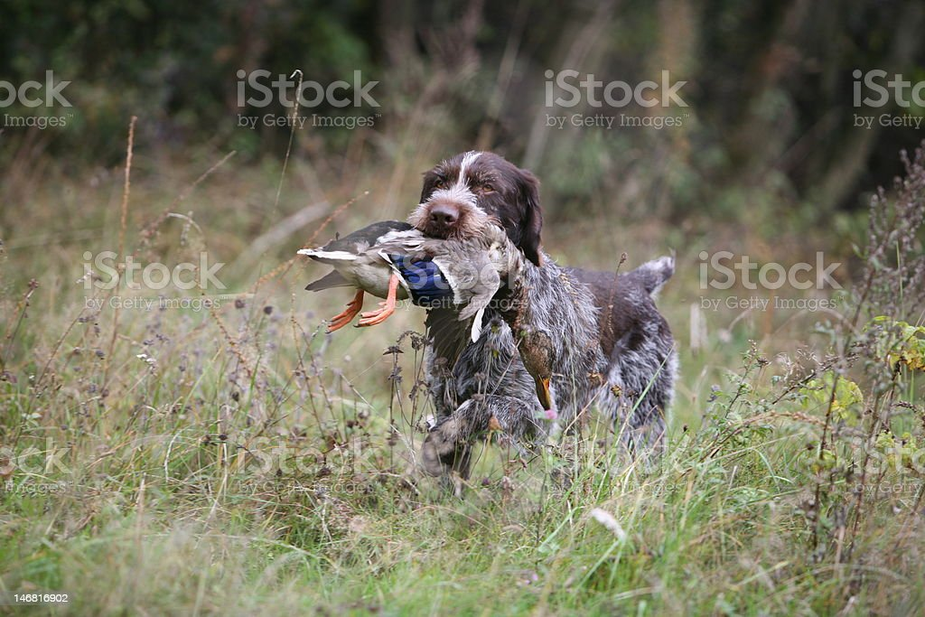 German Wirehaired Pointer Retrieving a Duck stock photo