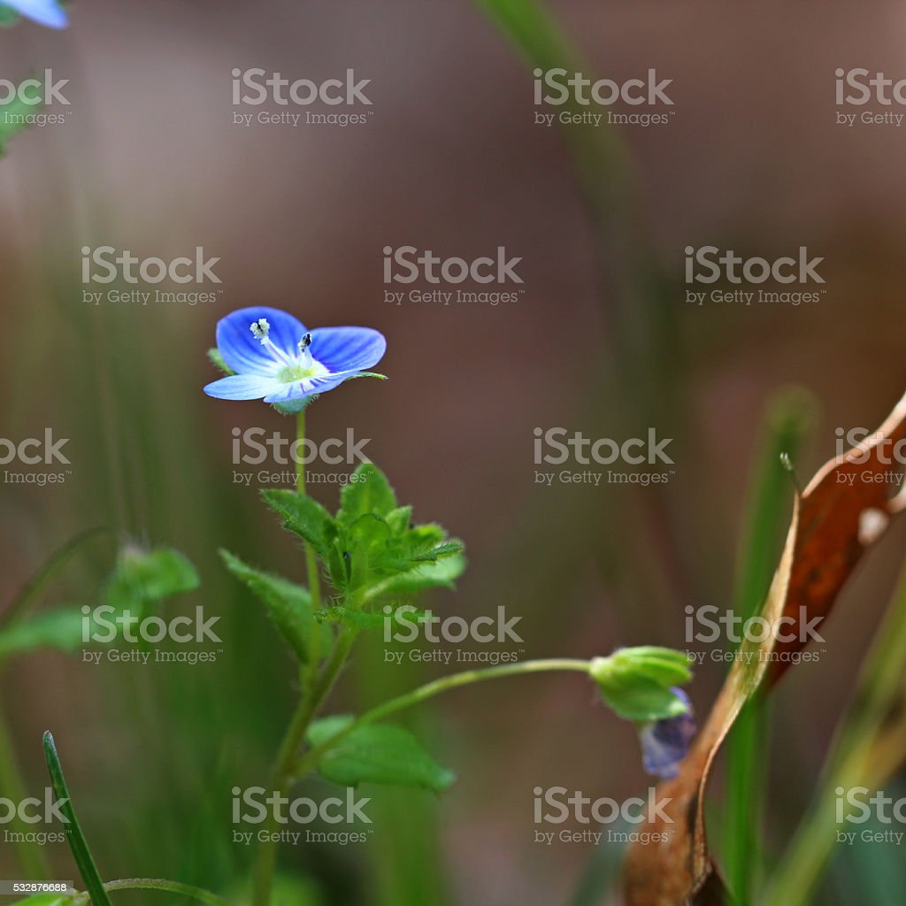 Germander speedwell, Veronica chamaedrys blue flowers with shall stock photo