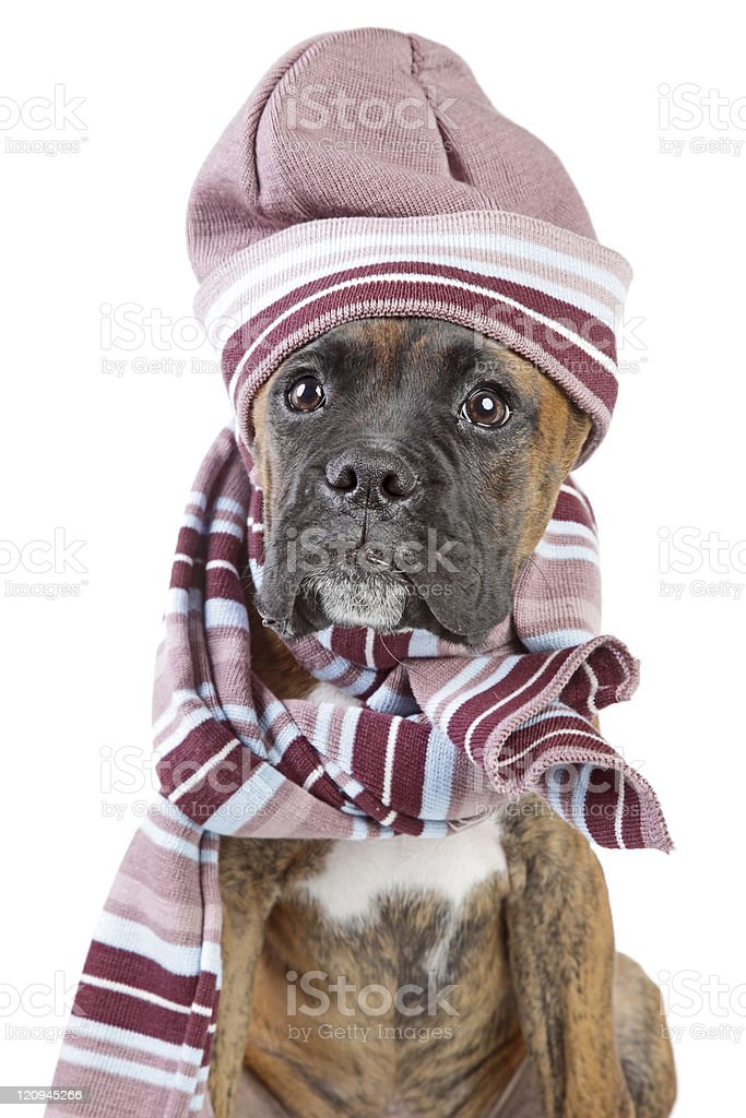 Germany Boxer puppy in warm hat and scarf stock photo