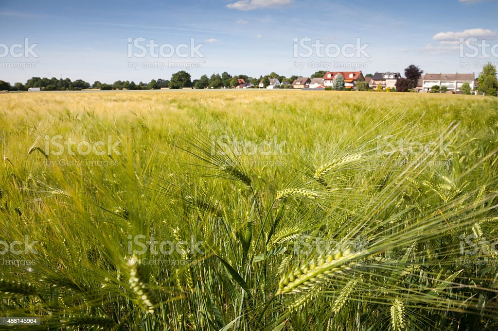 Germany, North Rhine-Westphalia, grain field, barley field stock photo