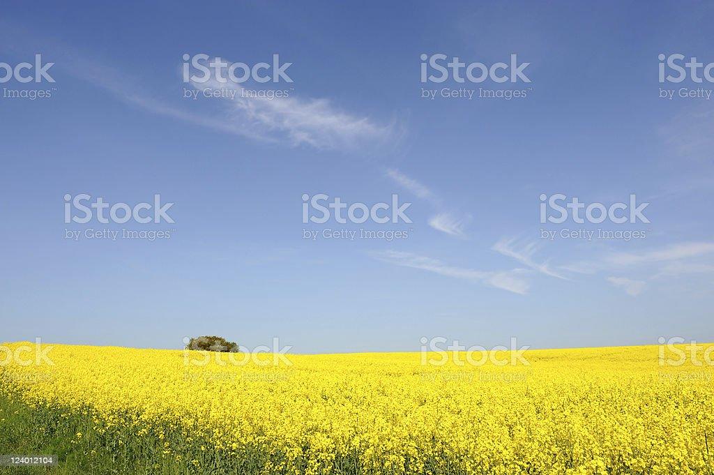 Germany R?gen Yellow Fields of Canola Summer stock photo