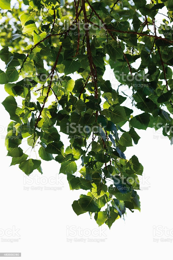 Germany,View of black poplar tree,close up stock photo