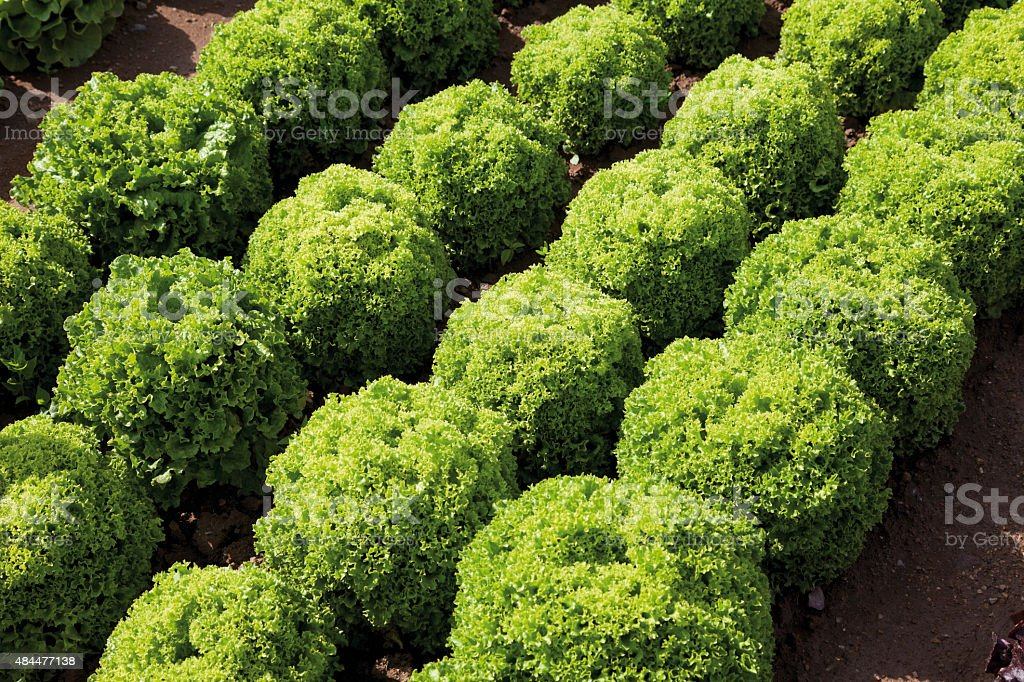 Germany,View of Lollo Bionda Levistro cultivation stock photo