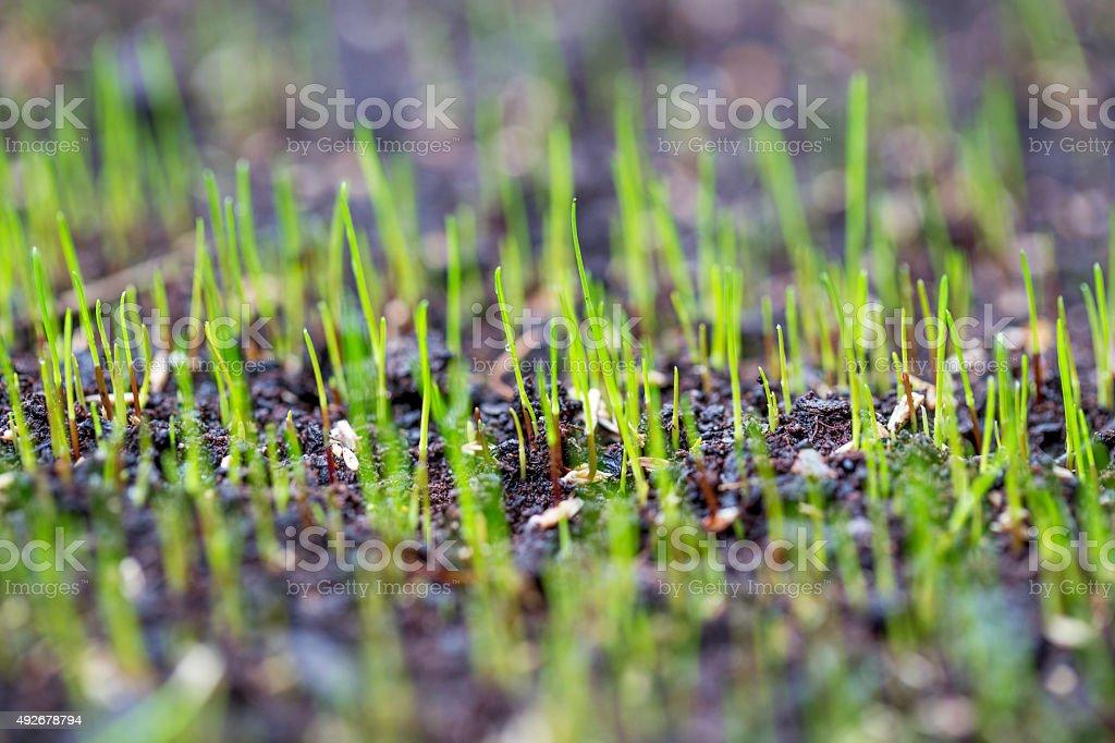 germinated grass stock photo
