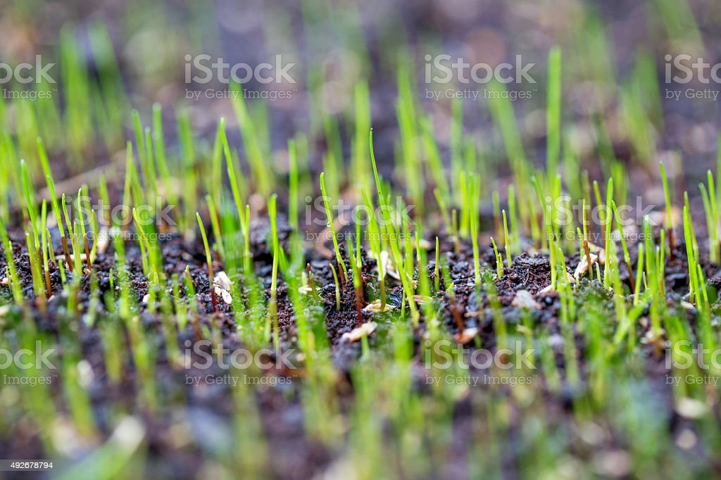 germinated grass stock photo